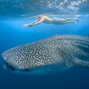 whale-shark-cozumel