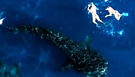 Whale Shark Tour Snorkeling