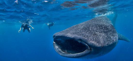 whale-shark-9